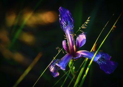 iris-versicolor-